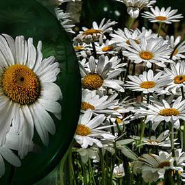 Shirley Mangini - Shasta Daisy Garden