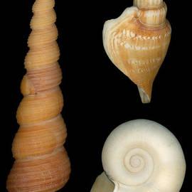 Mike Savad - Shell - Conchology - Shells