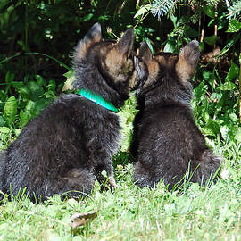 Aimee L Maher Photography and Art - Shepherd Pups 15