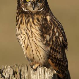 Sharon Ely - Short-eared owl