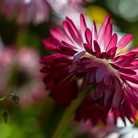 Jordan Blackstone - Shy Mum - Chrysanthemum