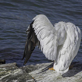 Agrofilms Photography - Shy Pelican