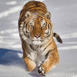 Jerry Fornarotto - Siberian Tiger coming Forward