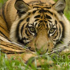 Darren Wilkes - Siberian Tiger Cub