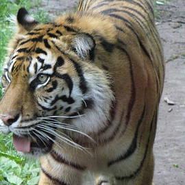 Lingfai Leung - Siberian Tiger