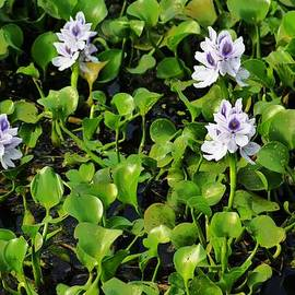 Chuck  Hicks - Swamp Flowers