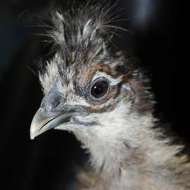 Donna Brown - Silkie Chicken