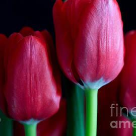 Tracy  Hall - Silky Smooth Tulips
