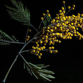 Alexander Senin - Silver Wattle Flowers