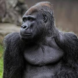Scott Hill - Silverback Gorilla