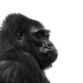 Stephanie McDowell - Silverback Gorilla