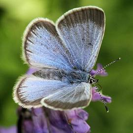 Doris Potter - Silvery Blue Butterfly