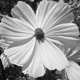 Denise Mazzocco - Simple Flower In Black And White