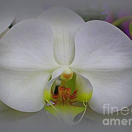 Photographic Art and Design by Dora Sofia Caputo - Simplicity - A White Orchid
