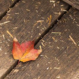 Photographic Arts And Design Studio - Single Maple Leaf