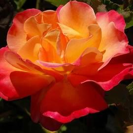 Linda Brody - Single Red and Orange Rose