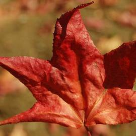 Linda Brody - Single Red Maple Leaf