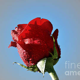 Elmar Langle - Single Red Rose