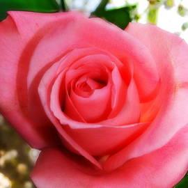 Marcel  J Goetz  Sr - Single Rose