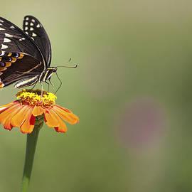 Jo Ann Tomaselli - Single Swallowtail Palamedes Butterfly