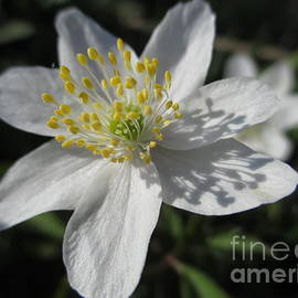 Martin Howard - Single White Wood Anemone