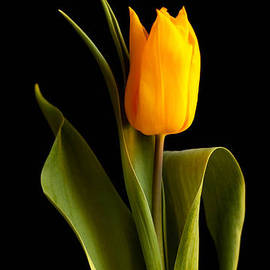 Kerstin Ivarsson - Single yellow tulip against black background
