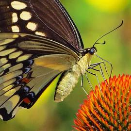Lori Frisch - Sipping Swallowtail