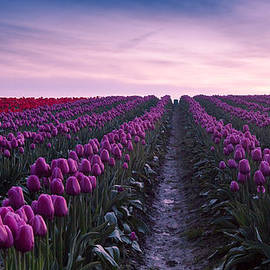 Anthony J Wright - Skagit Valley Tulips