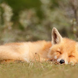 Roeselien Raimond - Sleeping Cuty _ Red Fox Kit