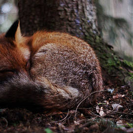 Nisse Rantala - Sleeping fox