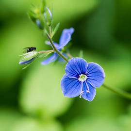 Alexander Senin - Small fly on a small wildflower - Featured 3