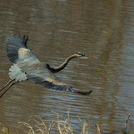 Paul Lyndon Phillips - Small Heron Takeoff - c9066g