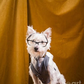 Edward Fielding - Small white dog wearing glasses and vest
