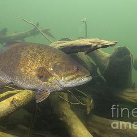 Engbretson Underwater Photography - Smallmouth Bass In Wood