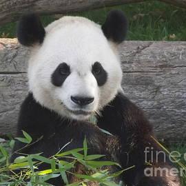 Lingfai Leung - Smiling Giant Panda