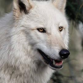 Athena Mckinzie - Smiling White Arctic Wolf