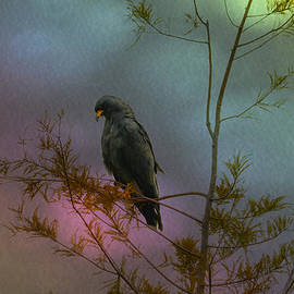 Dick Hudson - Snail Kite in Cypress