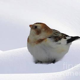Mim White - Snow Bunting
