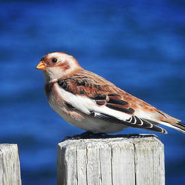 Zinvolle Art - Snow Bunting