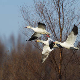 Doug Lloyd - Snow Geese In Flight