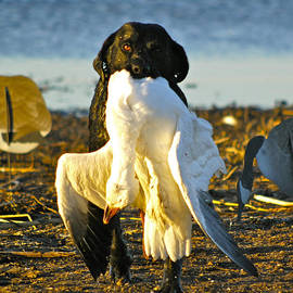 Mike Gnatkowski - Snow Goose Retrieve