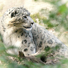 Karol  Livote - Snow Leopard Pose