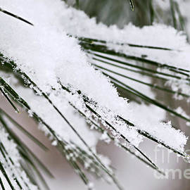 Elena Elisseeva - Snow on pine needles