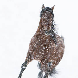 Carol Walker - Snow Stallion Trots