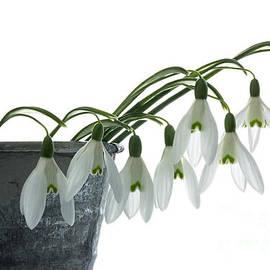 Ann Garrett - Snowdrops in a Planter