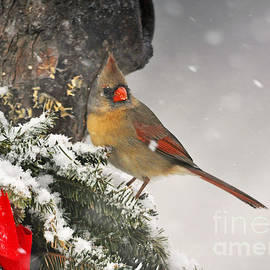 Nava  Thompson - Female Cardinal Snowing