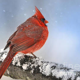 Nava  Thompson - Snowing on Red Cardinal