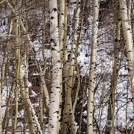 Janice Rae Pariza - Snowy Aspen