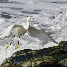 Bruce Frye - Snowy Egret and Surf