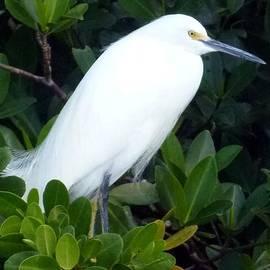 Barbie Corbett-Newmin - Snowy Egret